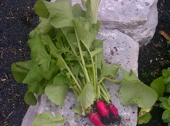 First batch of radishes picked for harvest