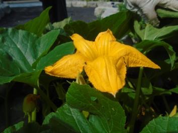 Acorn squash flower